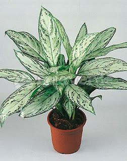 Jardineria, Catalogo de Plantas: Aglaonema commutatum