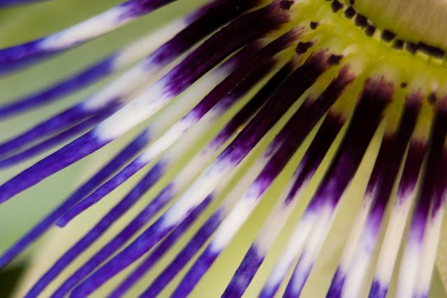 Fotografía macro de un detalle de la flor de la pasión
