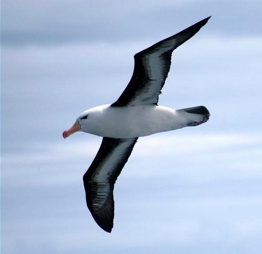 Photo oiseau albatros photos oiseaux for Photo oiseau