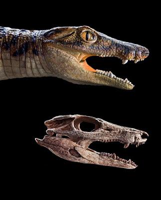 skull de Araripesuchus