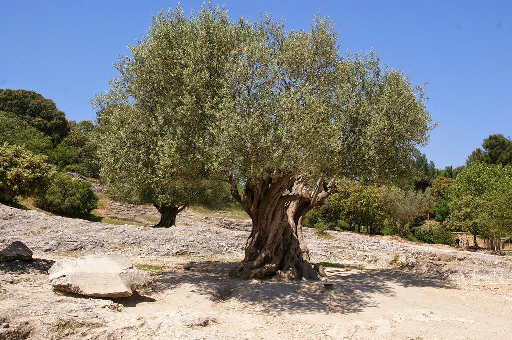 Er is nog plaats op de edele Olijfboom