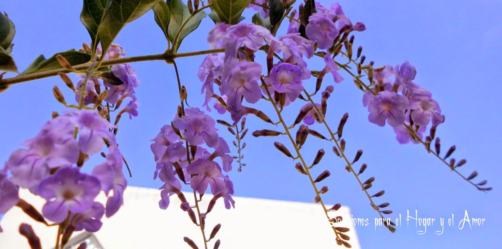 Cielo Azúl, flores moradas, Duranta, Grano de Oro