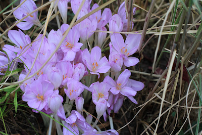 Autumn Crocus In Situ