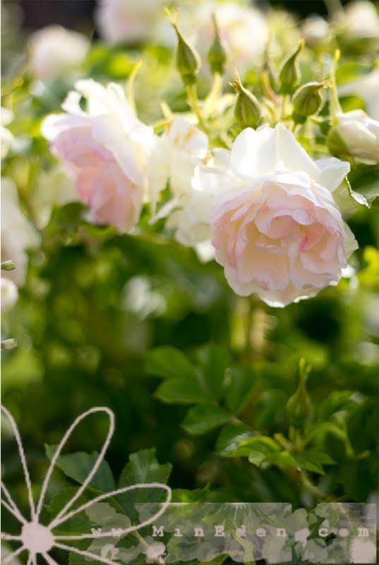 Роза Polereis Canandian Rose www.mineden.com