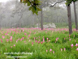 ดอกกระเจียว บานที่ป่าหินงาม จังหวัดชัยภูมิ