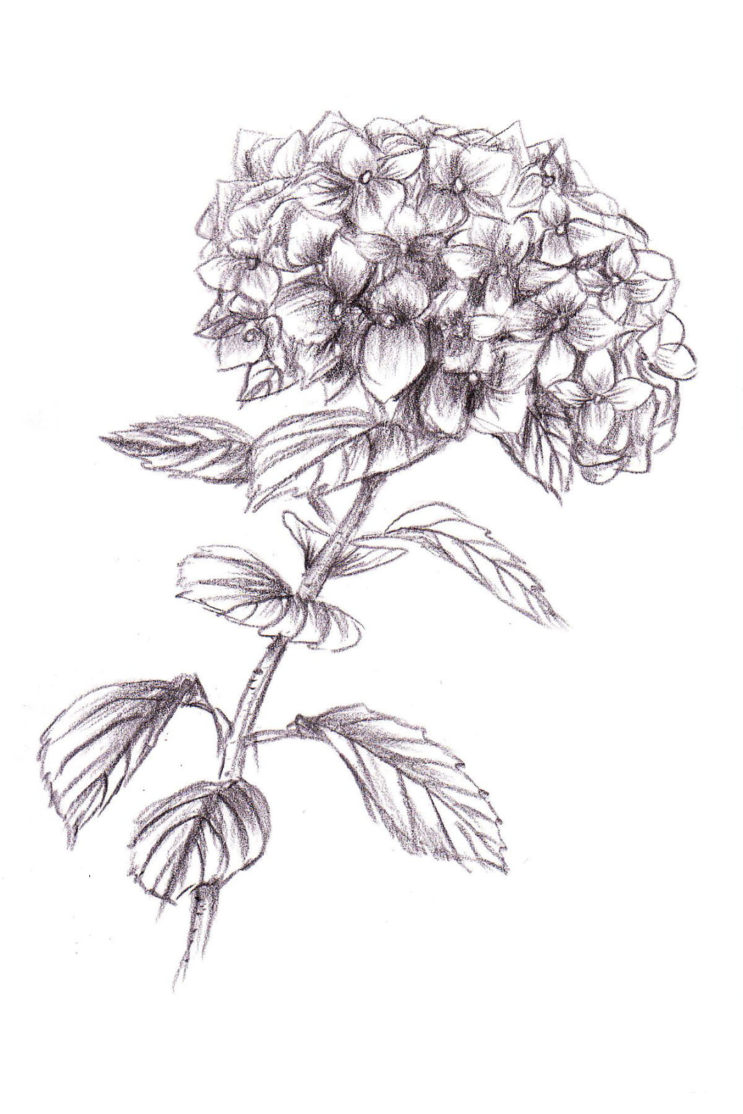 Rose Tinted Illustration HYDRANGEA ILLUSTRATION