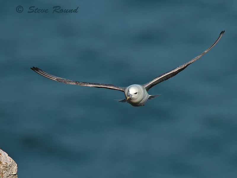 fulmar, seabird, bird, nature, wildlife, in flight, flying