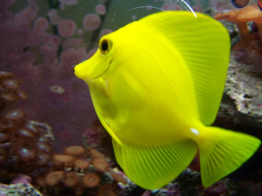 Aquarium fish yellow tang fish wallpaper animals library for 94 1 the fish