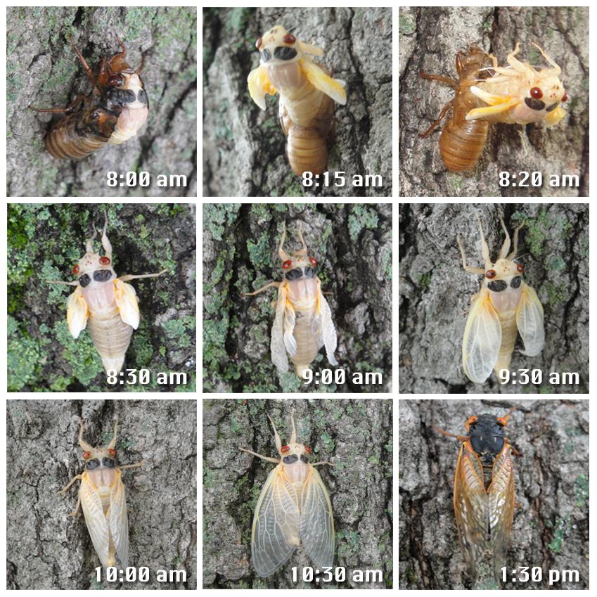 Cicada%2Bhatching.jpg