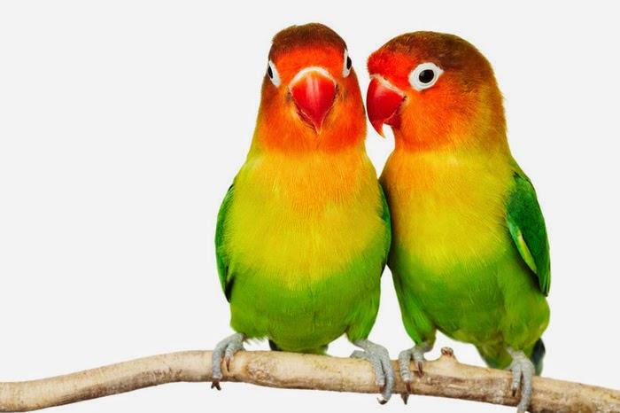 Peluang Usaha Budidaya atau Ternak Burung Lovebird