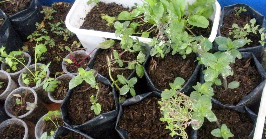 Alternativa ecol gica costo de producci n de vivero de for Hierbas aromaticas y medicinales