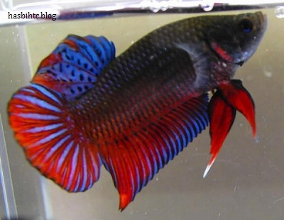Foto Ikan Cupan Yang Indah dan Cantik