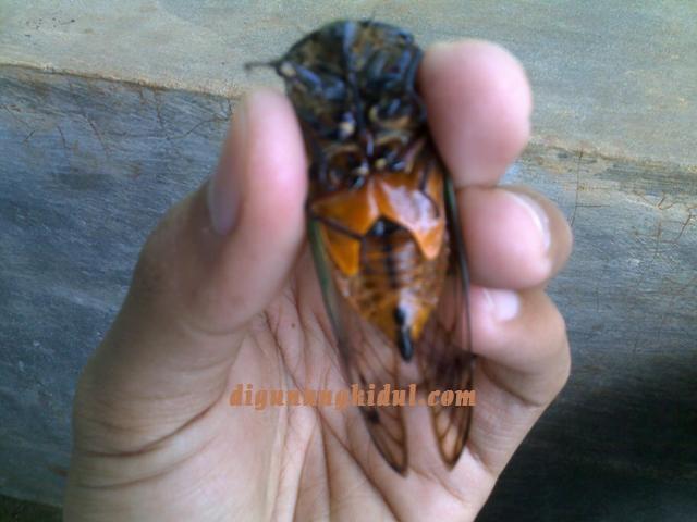 Gambar Serangga Bernama Gareng