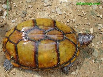 Kinosternon cruentatum - Tortuga candado