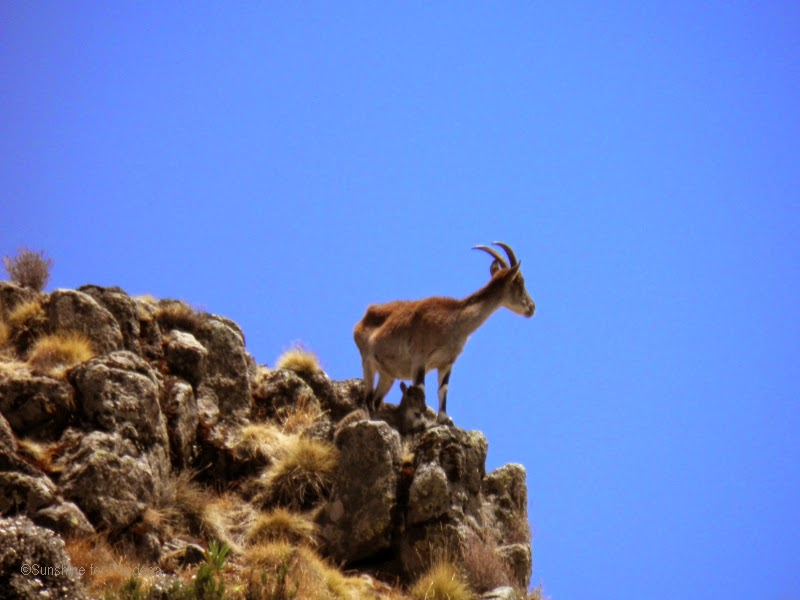 Female Walia Ibex with lamb