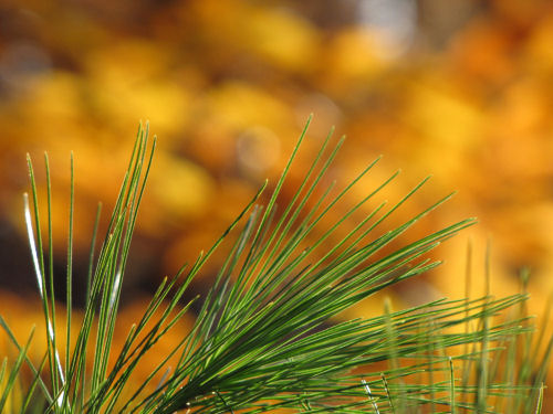 pine needles and beech leaves