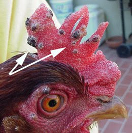 Penyakit cacar pada ayam (Fowl Pox)