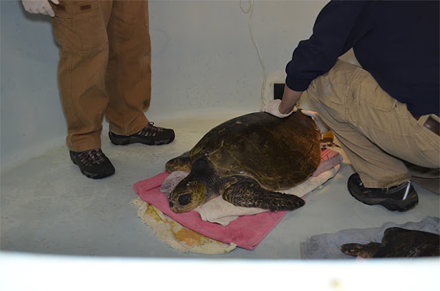Rescue on the Oregon Coast: Both turtles are in critical condition