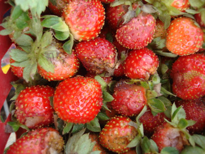 Baguio strawberry farm_05