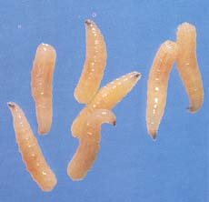 fruits with protein fruit fly larvae