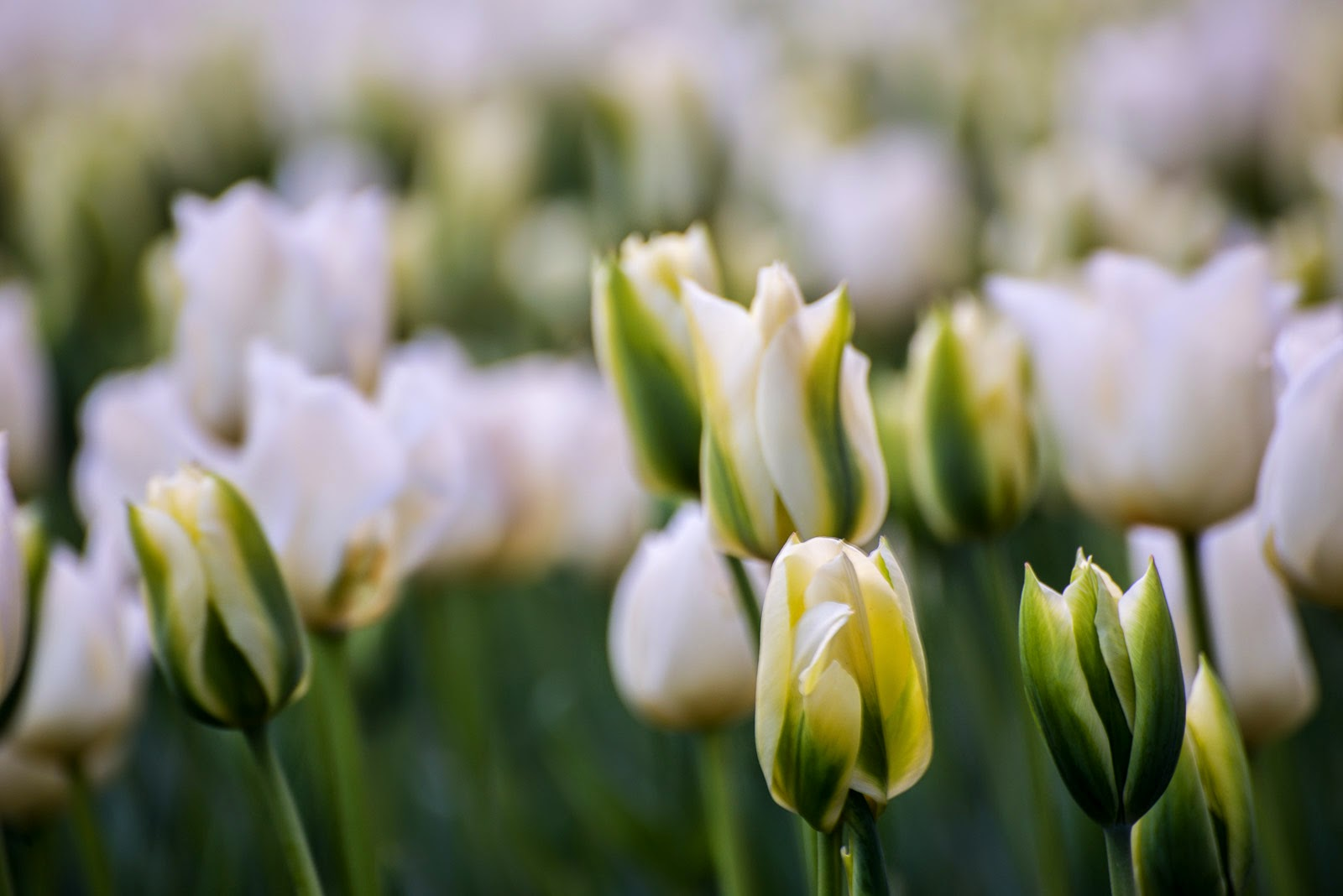 white tulip bed close up