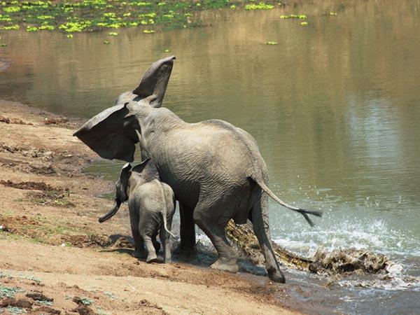 gajah buaya