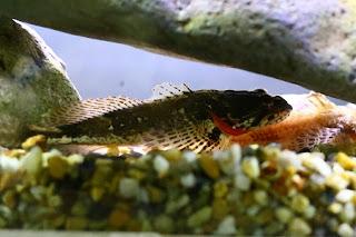 Trachidermus fasciatus