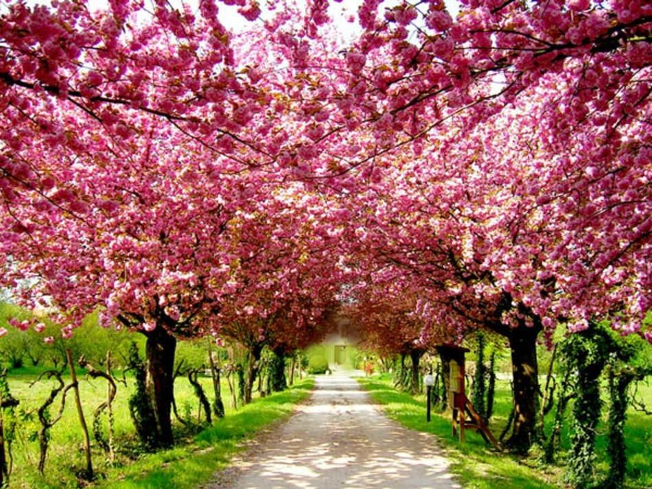 Photo love inspiration cherry blossom cheer for Arbol ciruelo de jardin