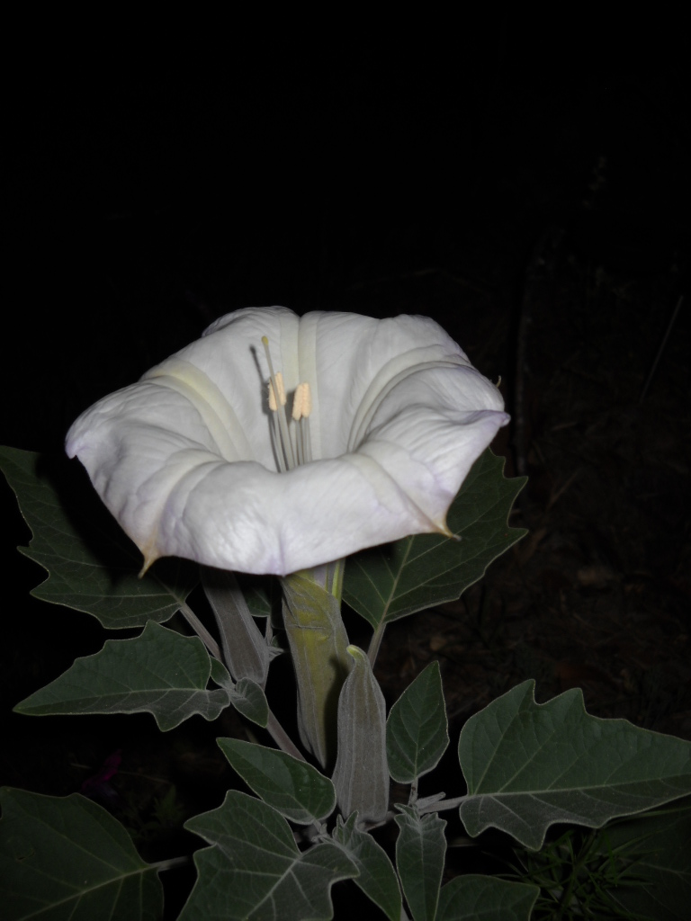 Dotty plants greenhouse journal vespertine flowers datura and here we are acknowledging opening of the first flower of white datura innoxia sometimes called by the common name of jimson weed when i was looking online mightylinksfo