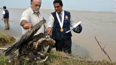 Aves muertas en las costas de Chile