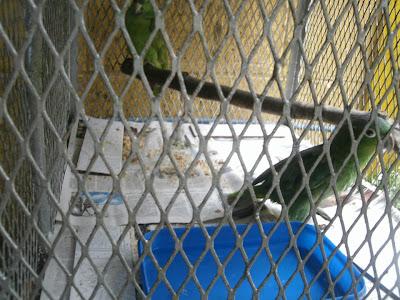Parrots Nicaragua