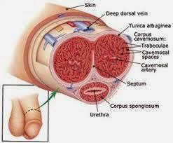 Struktur penis
