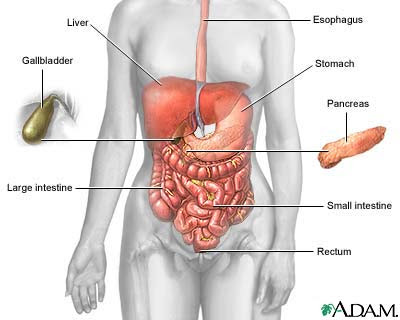 Digestive+organs+and+functions