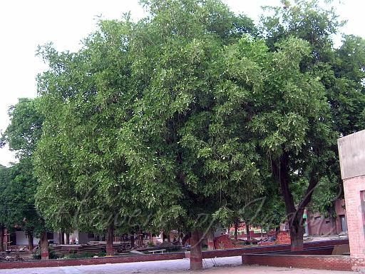 uses of trees in marathi Trees are the gift of god for us to live  without trees there isno life possible , because we need oxygen to survive.