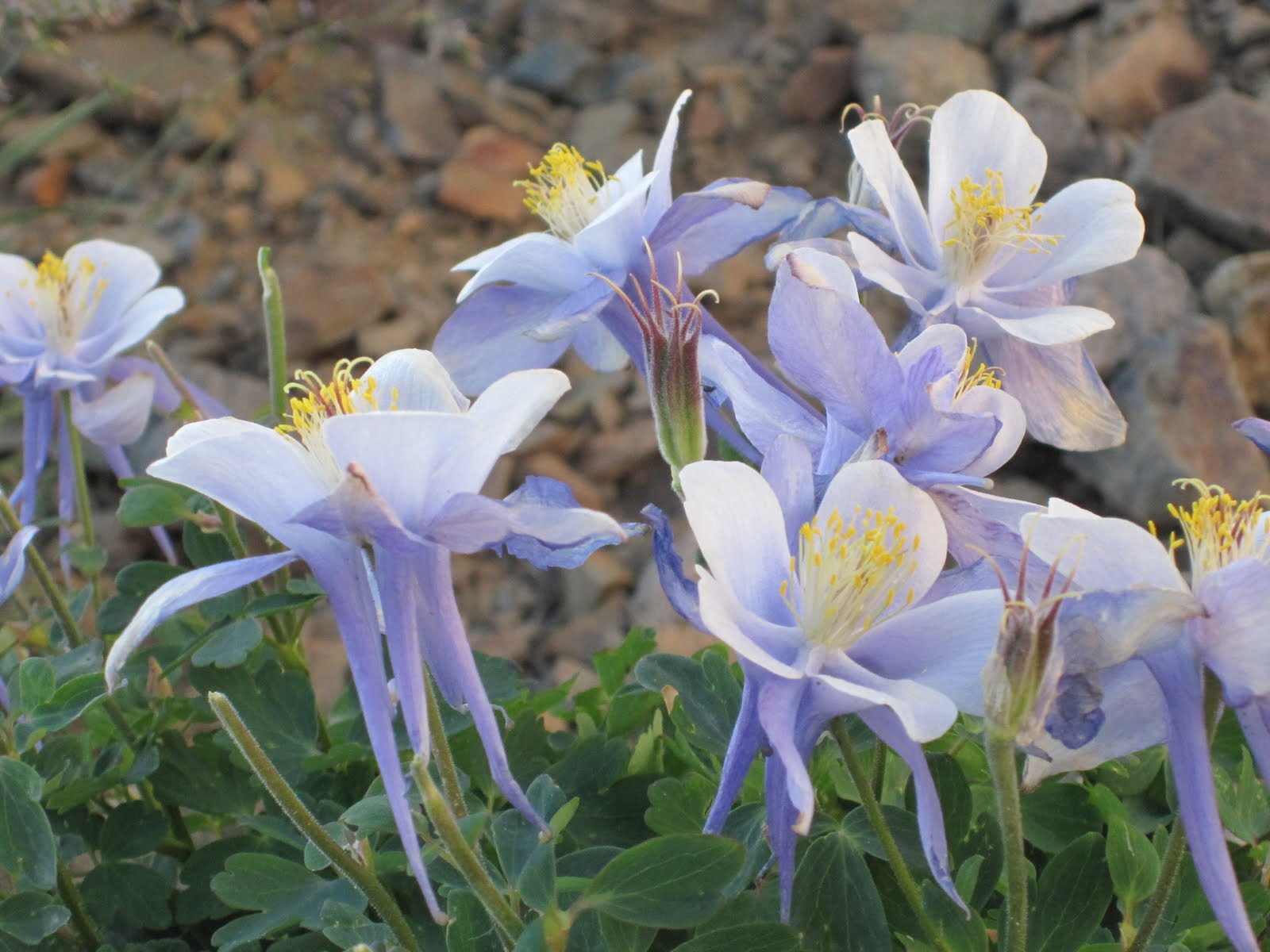 Cannundrums colorado blue columbine it flowers from june to august high in the mountains from western montana to northern arizona and northern new mexico izmirmasajfo