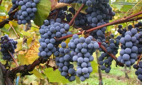 Benih Buah Anggur