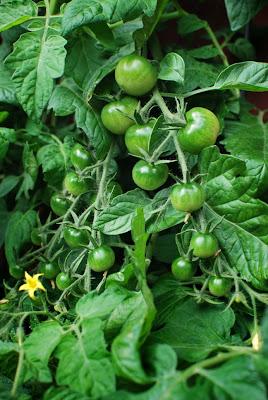 Muonamiehen mökki - Tomattien viljelyä kasvatusäkkissä