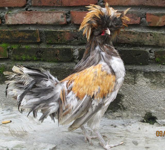 jual ayam poland unik dan aneh