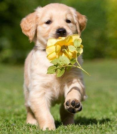 Puppy bringing flower for its master