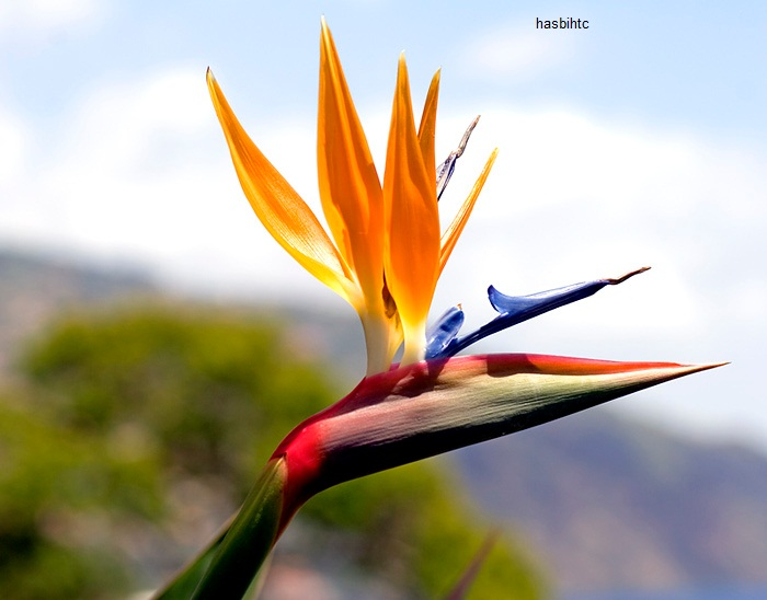 Bunga Bird of Paradise