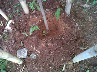 batang tanaman glodogan tiang tinggi 3 meter