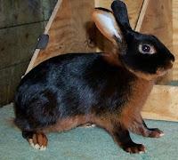 Jenis-jenis kelinci, Tan