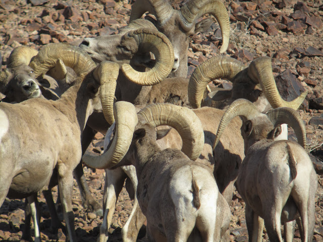 AZ+Desert+Bighorn+Sheep+Scouting+Pics+by+Colburn+and+Scott+Outfitters+14.JPG