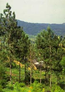 pino del Caribe Pinus caribaea