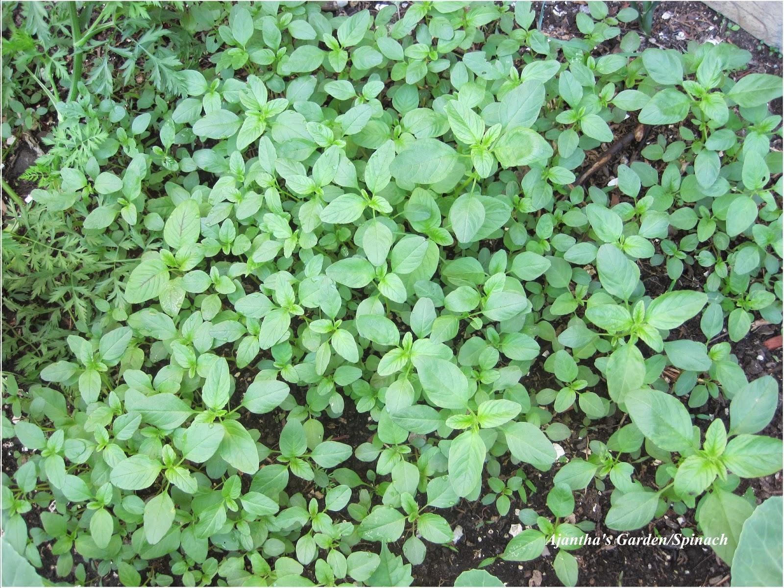 Ajantha's Garden/Spinch