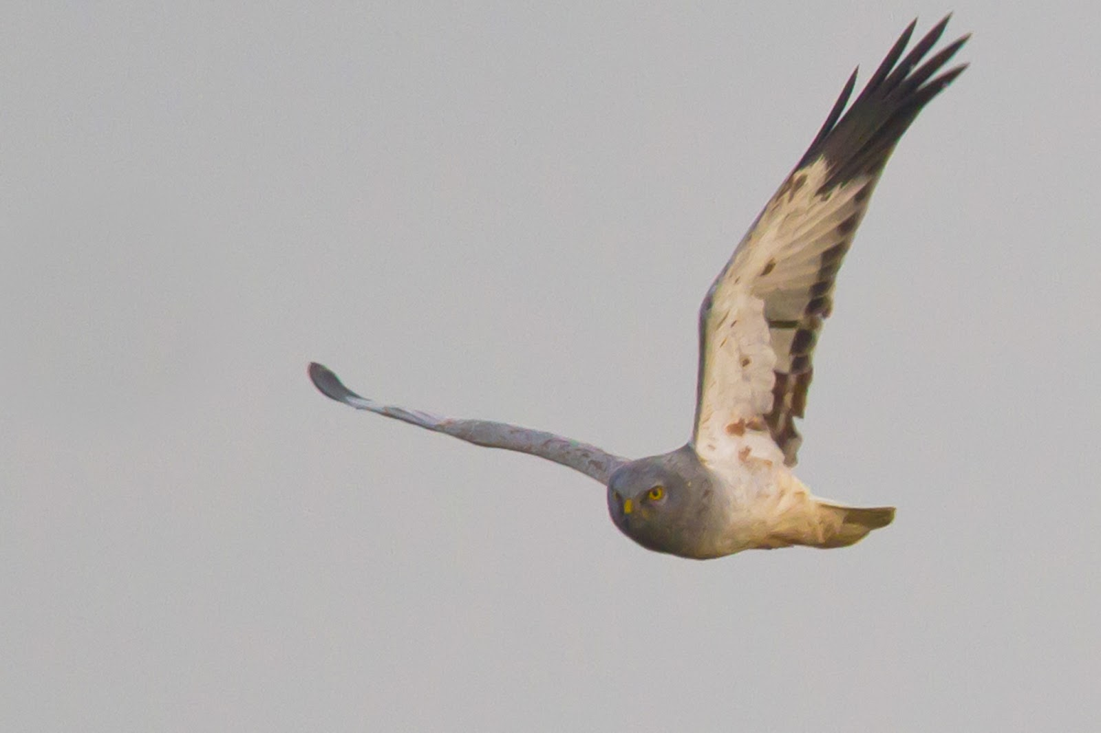 Male hen harrier photos LATEST REPORTS - Mull