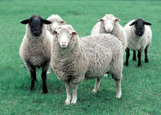 Việc sử dụng nhau thai cừu để làm đẹp cần phải có sự kiên trì