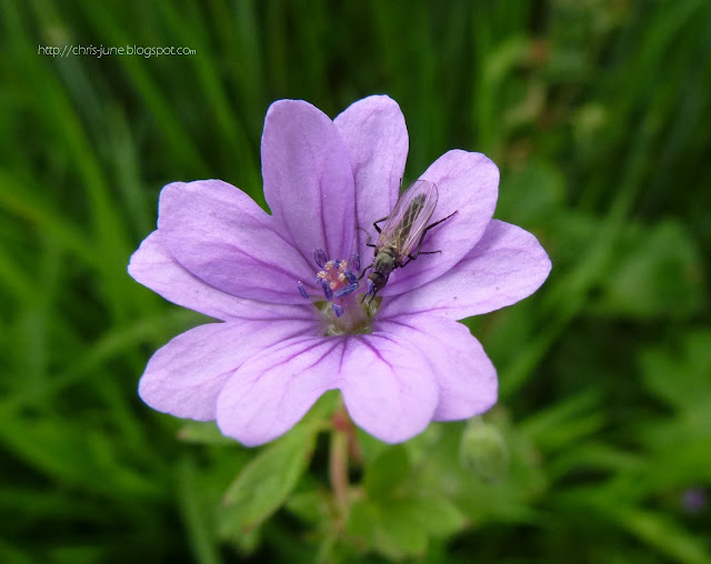 Storchschnabel lila mit Insekt