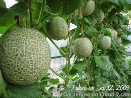 Budidaya Buah Melon