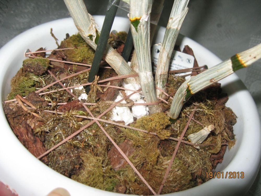 Пересадка орхидеи дендробиум в домашних условиях фото